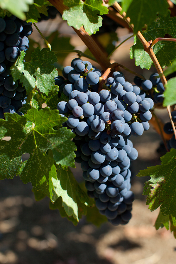 Truchard Grapes